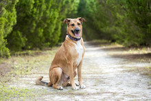 Anatolian German Shepherd Mix On A Beautiful Sunny Days In The Forest, Dog Outdoors At A Park