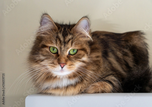 A beautiful, brown and white tabby Siberian Forest Cat.