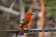 Background Photo. The Fire Sanhaçu Is A Passerine Bird Of The Family Cardinalidae.