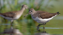 Mature Green Sandpiper Wades In Green Water Near A Shore In Summer Day