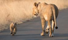 Lioness And Cub Kruger National Park