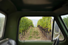 View Of Grape Vine Rows In Vineyard From Truck Window