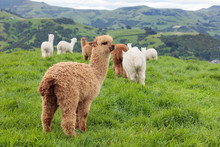 Group Of Alpacas Grazing In A ...