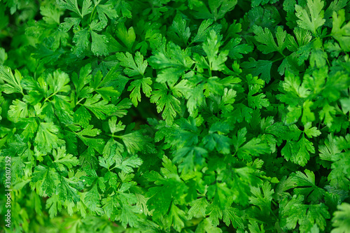 Organic cultivation in the garden - full frame background of green parsley leaves in close-up Fototapet