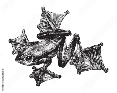 Black-webbed tree frog or green flying frog (Rhacophorus Reinwardtii) / vintage Canvas Print