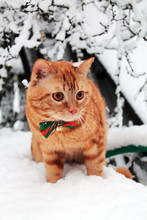 A Red Cat In A Festive Bow Tie Is Walking In The Snow.