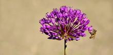 Zierlauch - Kugellauch - Allium In Voller Blüte Mit Honigbienen - Isoliert Und Freigestellt