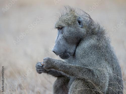 Photo portrait of baboon