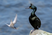 European Shag / Common Shag (Phalacrocorax Aristotelis) Perched On Rock In Sea Cliff And Arctic Tern Flying By In Spring, Shetland Isles, Scotland, UK