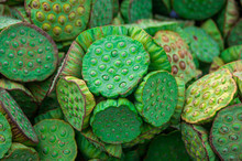 Close Up Of Natural Green Lotus Seed Pods Blossom