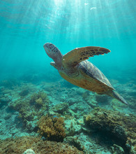 Majestic Big Sea Turtle Swimming Under The Surface Through Crystal Clear Sea.
