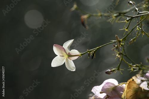 Photo  Fleur de jasmin en Tunisie