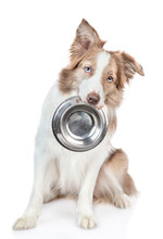 Border Collie Dog Holds Bowl In His Mouth. Isolated On White Background