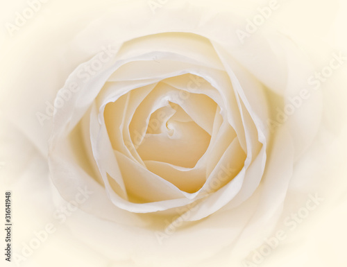 Photo pale white rose flower close up, soft and airy romantic background