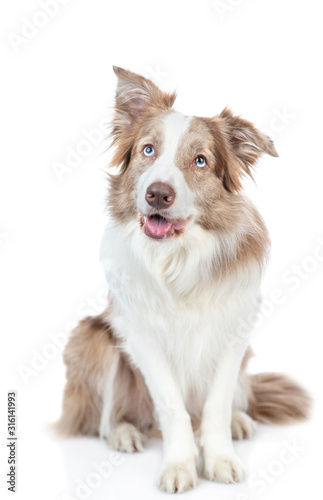 Fototapety, obrazy: Border collie dog looks up. isolated on white background