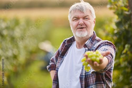 Cuadros en Lienzo Stolzer Winzer zeigt Rebe weißer Weintrauben