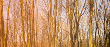 Panorama Of A Spring Forest
