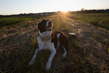 Happy Brown And White Dog Resting In Rural Field At Sunset