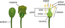 Stages Of Grape Flower Bloom A...