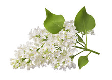 Branch Of White Lilac Flower W...