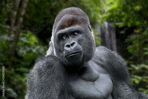 Photo Western lowland gorilla male silverback
