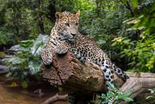 Sri Lankan Leopard In Rain For...