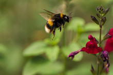 Buff-tailed Bumblebee (Bombus Terrestris) In Flight