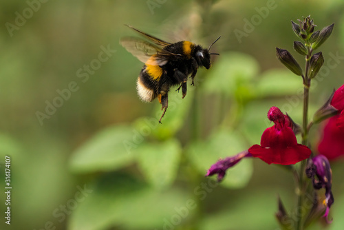 Canvas Buff-tailed Bumblebee (Bombus terrestris) in flight