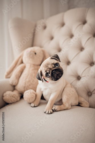 Portrait of beautiful female puppy pug dog in home. Canvas Print