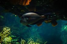 Sohal Surgeonfish Swimming In ...