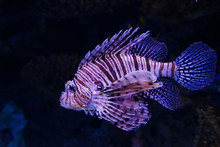 Purple Lionfish With Its Spine...