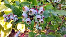 Blueberry Fruits Ripening In T...