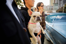 Portrait French Bulldog Being Held By Man