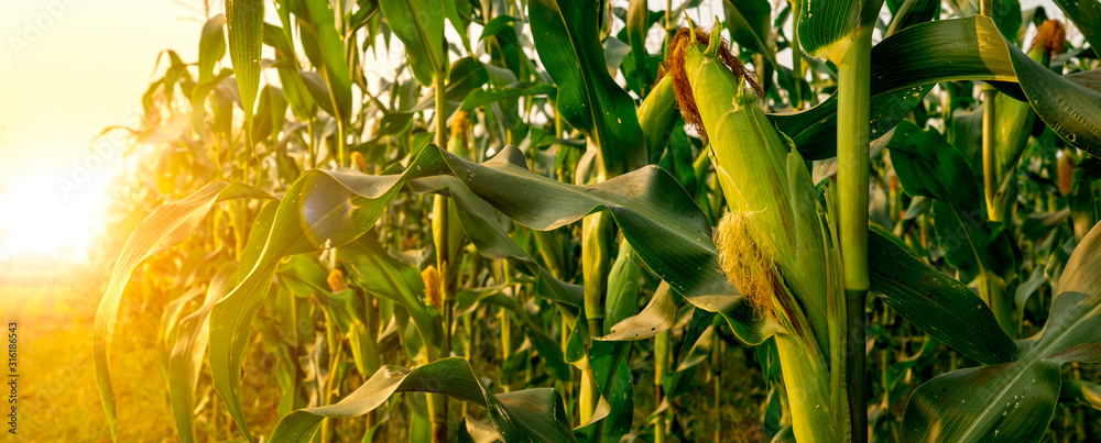 Fototapeta Corn or miaze field garden agriculture in countryside