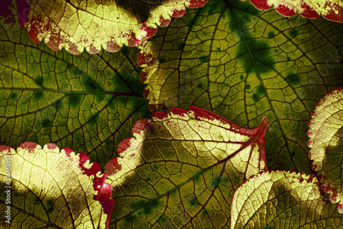 Obraz red leaves in the detail - macro picture - fototapety do salonu