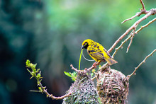 Southern Masked Weaver With Gr...