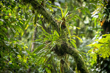 Epiphytic Plants And Parasites In A Costa Rican Rainforest