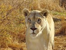 Weiße Löwin 191