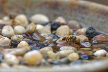 Bee Sitting Safe On Pebble Drinking Sugar Water Out Of Bowl