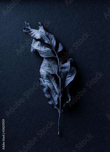 Fototapeta Blue toned dry leaf on dark blue background. Still life obraz