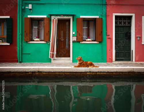 Fototapeta Dog in the colored house of Burano in Italy. Nova Scotia Duck Tolling Retriever in the background architecture city obraz