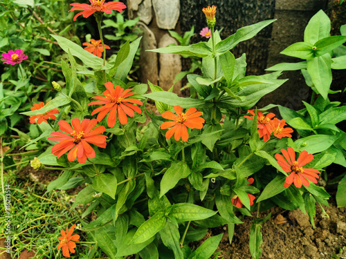Nature view of orange zinnia flowers with fresh green leaves in garden Canvas Print