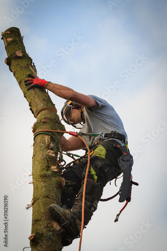 Photo Tree surgeon in a harness and safety equipment felling a Norway Spruce tree at h