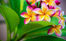 Plumeria Flower Pink Yellow An...
