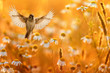 bird with its wings spread wide flies over a field of white daisies flowers in Sunny summer evening