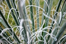 Green Yucca Leaves With Hoarfrost, Frosty Morning. Floral Background. Floral Texture.