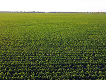 Aerial Drone View. Green Cornfield.