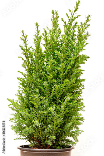Little green cypress tree. Isolated on white. Fototapet