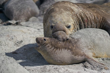 Large Male Southern Elephant Seal (Mirounga Leonina) Holds A Female Around The Neck Whilst Mating On Sea Lion Island In The Falkland Islands.