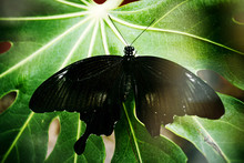 Farfalla In Natura
